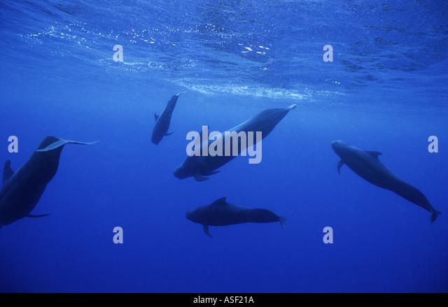 Short finned Pilot Whale Globicephala macrorhynchus group part of large pod underwater just under surface Tonga - Stock Image