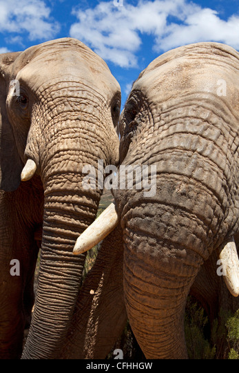 Close up of two african elephants, South Africa - Stock Image