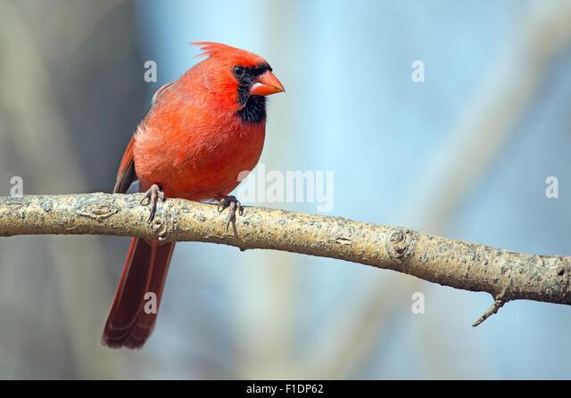 Male Northern Cardinal sitting on a Branch - Stock-Bilder