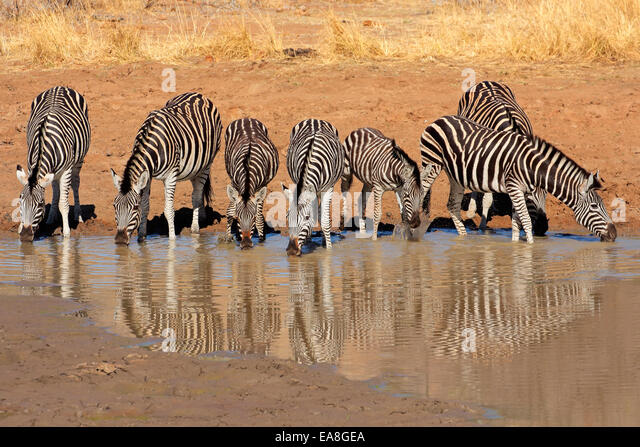 Plains Zebras (Equus burchelli) drinking water, Pilanesberg National Park, South Africa - Stock Image
