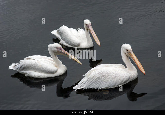 Three pelicans paddling on the water in London, UK, near Buckingham Palace, reflections in the lake - Stock Image