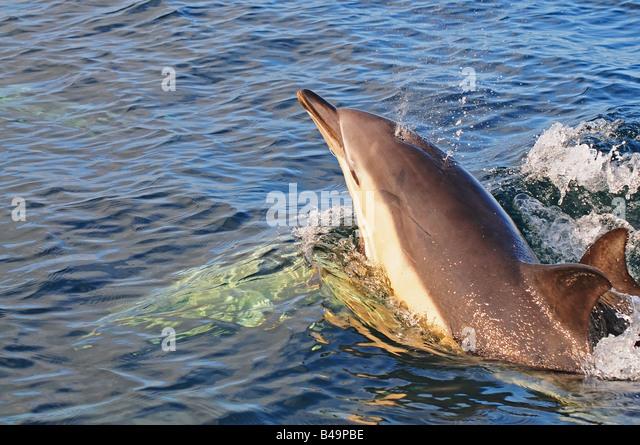 common dolphin delphinus delphis in european waters breaching - Stock Image
