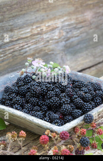 fresh wild blackberries in blue ceramic dish on rustic wood bench outdoors - Stock-Bilder