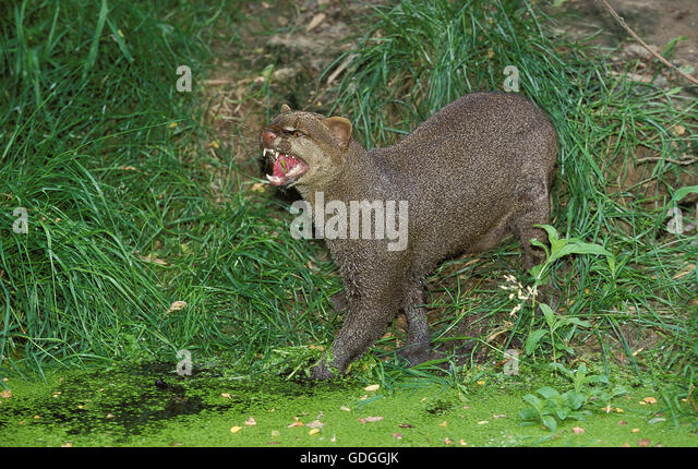 Jaguarundi, herpailurus yaguarondi, Adult snarling - Stock Image