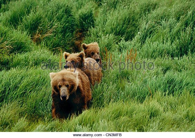 Brown bear and cubs, McNeil River Bear Sanctuary, Alaska - Stock Image