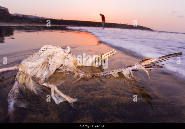 Dead seabird on the beach in Gran Canaria at sunset - Stock Image