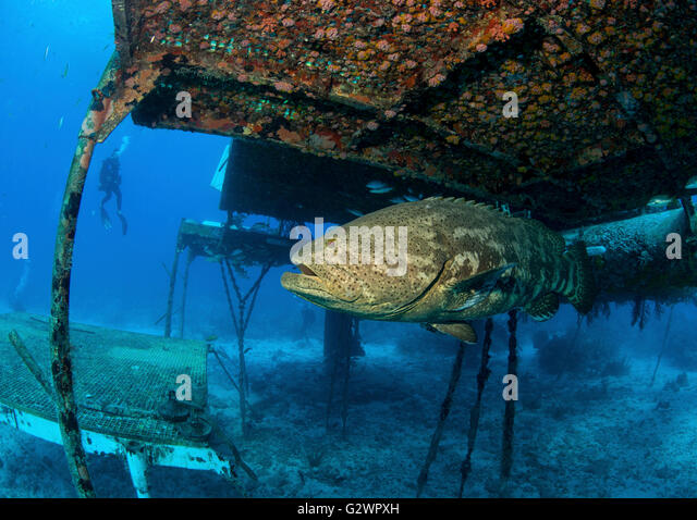 A Goliath grouper lingers near the Aquarius Reef Base, an underwater habitat, used as an undersea laboratory. - Stock-Bilder