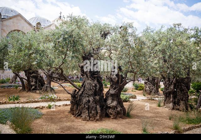 Olive Tree Garden Stock Photos Olive Tree Garden Stock Images Alamy