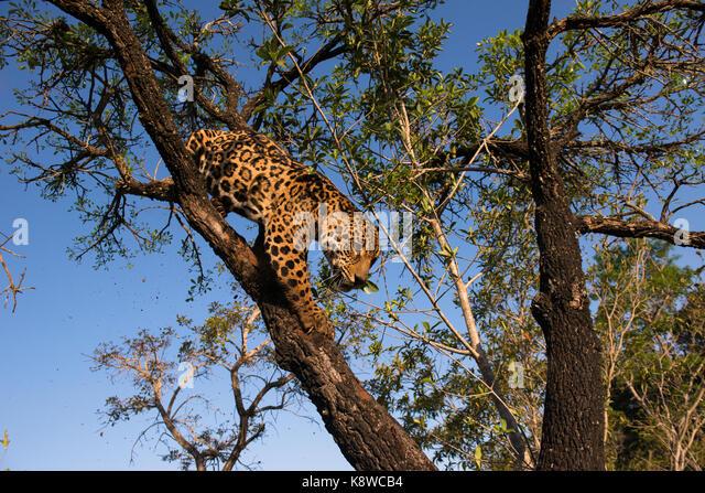 Jaguar on a tree in Central Brazil - Stock Image
