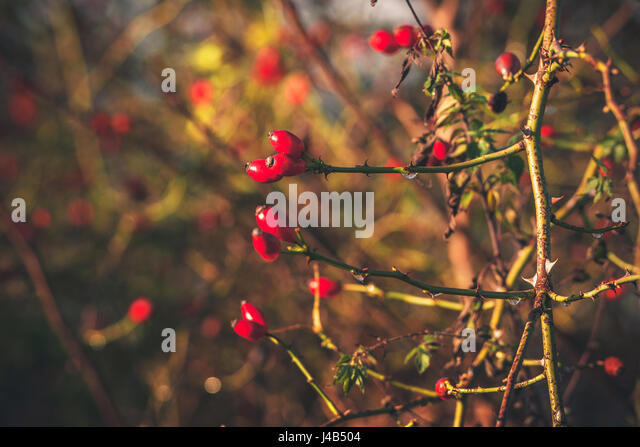 Red Rosa Rugosa berries on a bush in the fall in Scandinavian nature in autumn - Stock Image