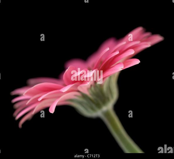 Gerbera, Pink flower subject, Black background - Stock-Bilder