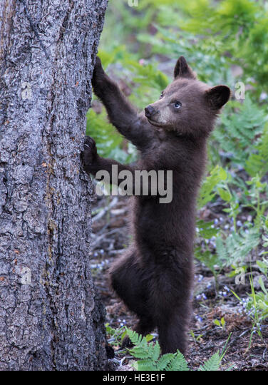 American Black Bear (Ursus americana) cub starting to climb a tree - Stock Image