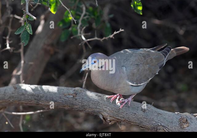 White-winged Dove (Zenaida asiatica), Arizona - Stock Image