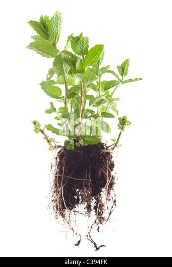 moroccan mint mentha spicata plant isolated on white background - Stock-Bilder