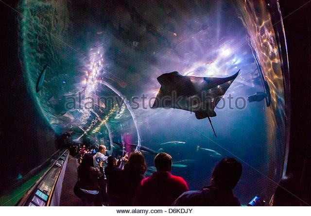 Manta rays, Aquarium of the Bay, Fisherman's Wharf, San Francisco, California USA - Stock Image
