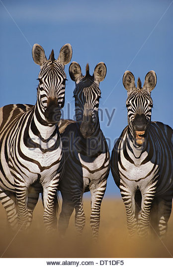 Masai Mara Reserve Kenya Zebras braying Equus quagga Masai MarReserve Kenya - Stock Image