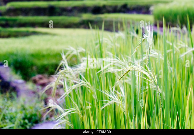 a close up of rice plant, in philippines. - Stock Image