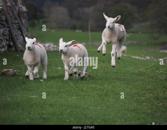 Cumbria, UK. 25th Apr, 2017. Overcast day in Cumbria. Three lambs frolicking in Cumbria despite the unseasonable - Stock Image