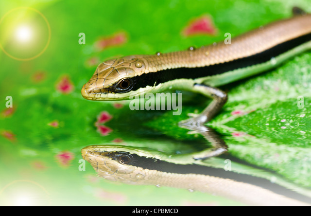 hide Skink in garden or in green nature - Stock-Bilder