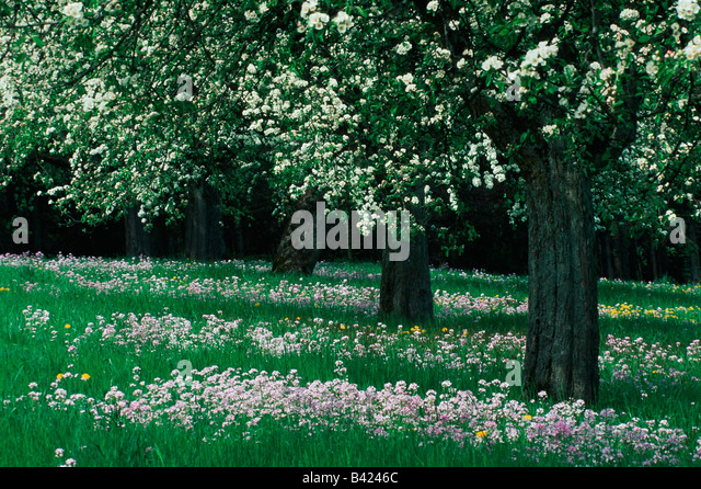 Apple tree malus domestica stock photos apple tree malus for Domestica in svizzera