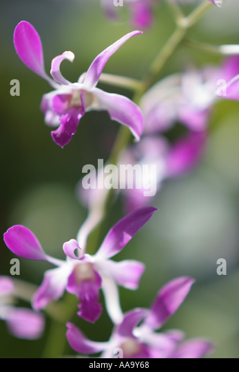 Florida, tropical plant, flora, growing, life, flower, orchid, purple, - Stock Image