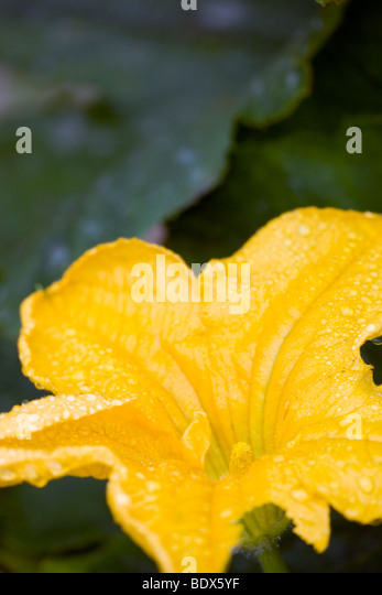 courgette or zucchini flower - Stock Image