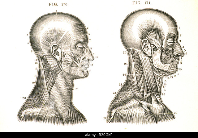 ILLUSTRATION MUSCLES OF THE HEAD AND NECK - Stock Image