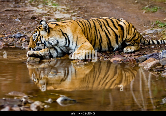 Tiger drinking from a water hole in Ranthambhore - Stock Image
