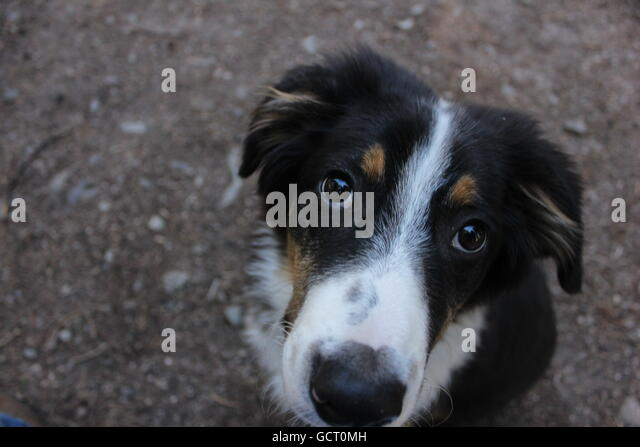 A puppy looks up with soulful eyes. - Stock Image