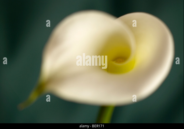 Arum lily, profile, lilium, green stem, white lily, flower, white background, focus, peace, white flower, close - Stock-Bilder