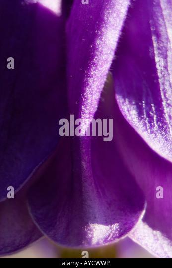 aquilegia vulgaris Rununculaceae head shot macro detail - Stock Image