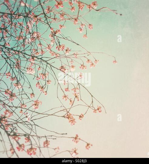 Pretty pink cherry blossoms at the beginning of Spring, Vancouver, BC, Canada. - Stock Image