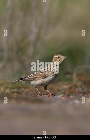 Skylark (Alauda arvensis) - Stock Image