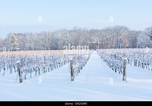 Canada,Ontario,Niagara-on-the-Lake, grape vineyard in winter - Stock Image