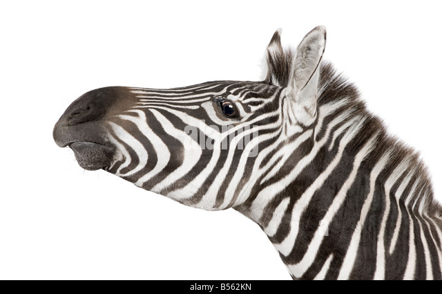 Zebra 4 years in front of a white background - Stock Image