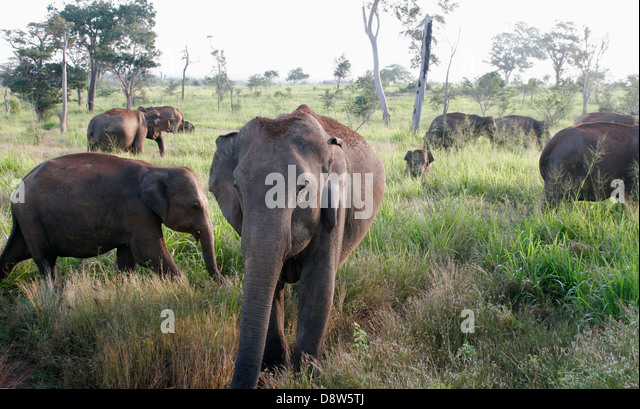 A herd of wild elephants in long grass, Sri Lanka - Stock Image