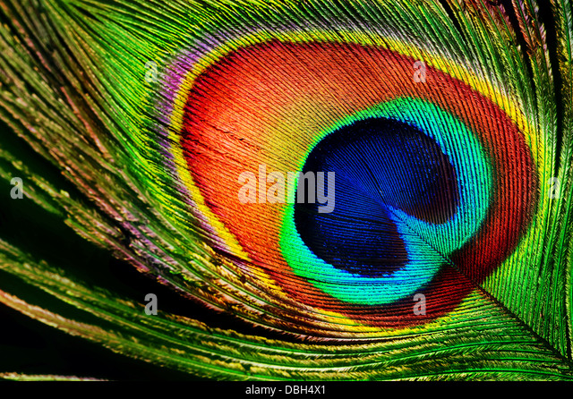 Peacock Feather - Stock-Bilder