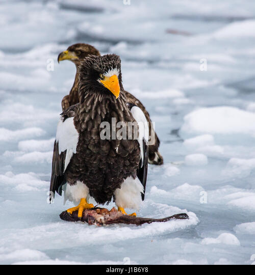 Two Steller's sea eagles sitting on the ice with prey in its claws. Japan. Hakkaydo. Shiretoko Peninsula. Shiretoko - Stock Image