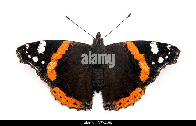 Top view of a Red Admiral butterfly, Vanessa atalanta, in front of white background - Stock Image