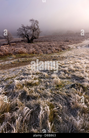 Old oak tree with hoar frost and mist, Bradgate park, Leicester, England, UK - Stock Image