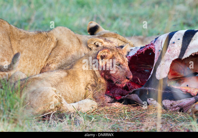 Lion cub eating zebra in Mara Reserve, Kenya - Stock Image