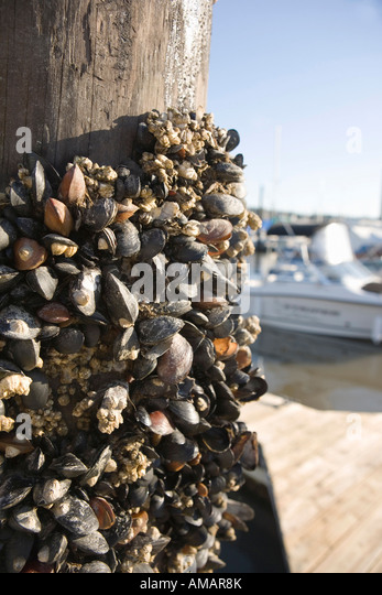 Mussels and barnacles attached to a wooden pillar - Stock-Bilder