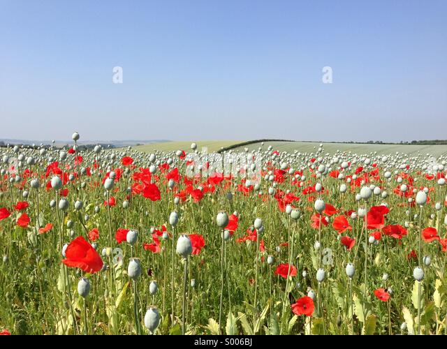 Poppy field in summertime. - Stock Image