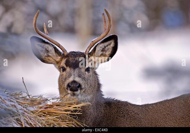 Mule Deer Buck in winter, standing  by Hay bale. - Stock Image
