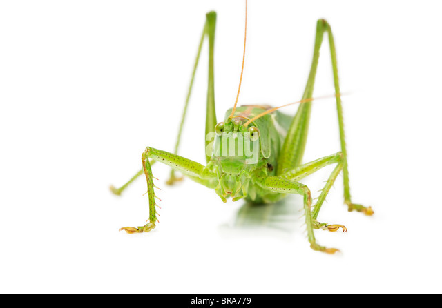 closeup of an grasshopper from front on white background - Stock-Bilder