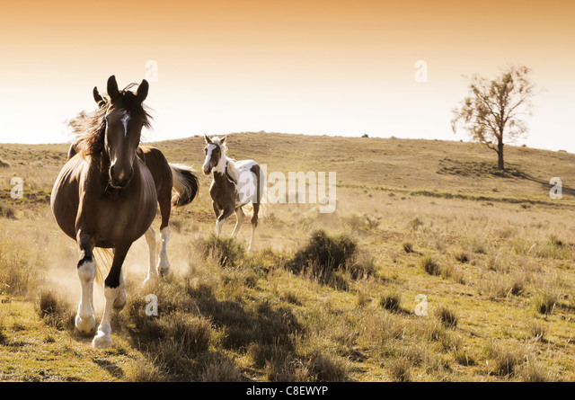Stock horses on an Australian cattle station at sunrise - Stock Image
