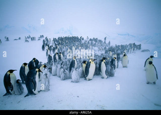 Emperor Penguin Aptenodytes forsteri group gathered together during storm Weddell Sea Antarctica - Stock Image
