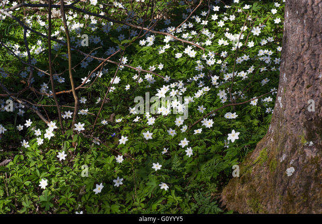 White anemones in the forest. - Stock Image