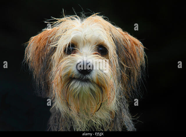 mixed breed dog (Canis lupus f. familiaris), five months old male Maltese Chihuahua mixed breed dog, portrait with - Stock Image