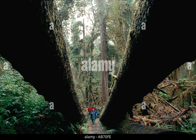 A woman walks under two fallen Douglas fir trees in Olympic National Park in Washington state COPYRIGHT DUANE BURLESON - Stock Image
